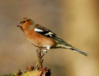 Chaffinch Cock - 9829