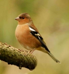 Chaffinch cock - 0237