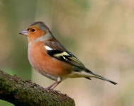 Chaffinch cock - 0496