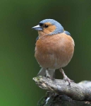 Chaffinch cock - 2156