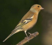 Chaffinch cock - 2334