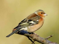 Chaffinch cock - 3165