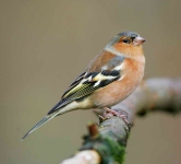 Chaffinch cock - 3324
