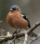 Chaffinch cock - 4080