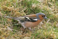 Chaffinch cock - 5357