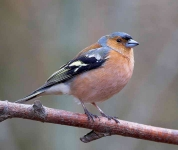 Chaffinch cock - 9152