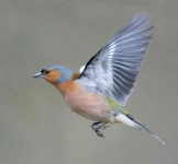 Chaffinch cock flying - 4551