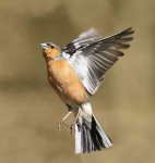 Chaffinch flying up - 4380