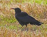 Chough at Head of Kinsale - 5873