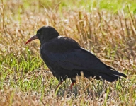 Chough at Head of Kinsale - 5874