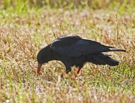 Chough at Head of Kinsale - 5877