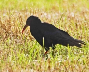 Chough at Head of Kinsale - 5892
