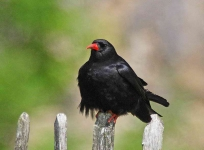 Chough at Warton Crag - 2586