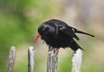 Chough at Warton Crag - 2587