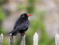 Chough at Warton Crag - 2592