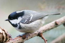 Coal Tit chick - 4093