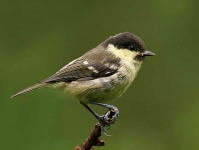 Coal Tit chick - 8340