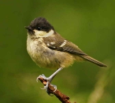 Coal Tit chick - 8437