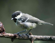 Coal Tit chick - 8745