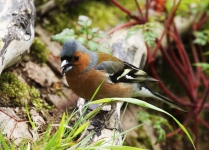 Cock Chaffinch - 1108