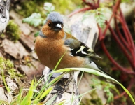 Cock Chaffinch - 1110