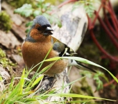 Cock Chaffinch - 1111