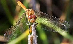 Common Darter Dragonfly-2859