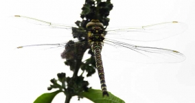 Common Hawker Dragonfly_P6E4126-1