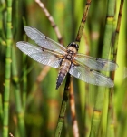 Common Hawker female-2707