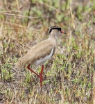 Crowned Plover-4285