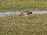 Curlew - 8293