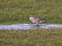 Curlew - 8305