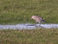 Curlew - 8306