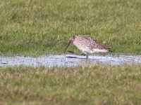 Curlew - 8309
