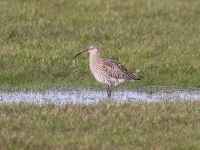 Curlew - 8311