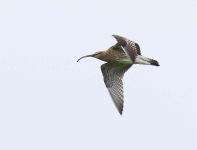 Curlew - 8459