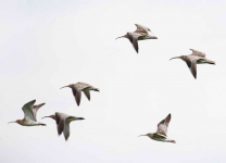 Curlews - 8454