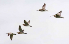 Curlews - 8455