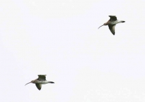 Curlews - 8461