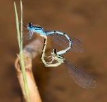 Damselflies mating-2798