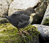 Dipper chick - 9439