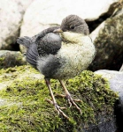 Dipper chick - 9443