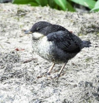 Dipper chick - 9523