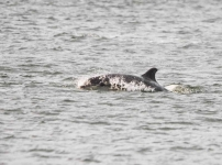 Dolphin chasing Salmon - 1187_p1