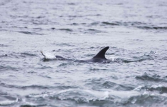 Dolphin with Salmon - 1274_p1