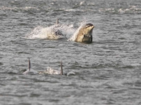 Dolphins hunting Salmon - 1184_p1