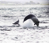 Dolphins jumping - 3561_p1