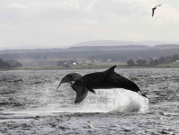 Dolphins jumping - 3593_p1