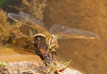 Dragonfly laying eggs_P6E7075