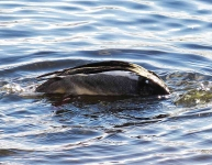 Gadwall diving - 0625